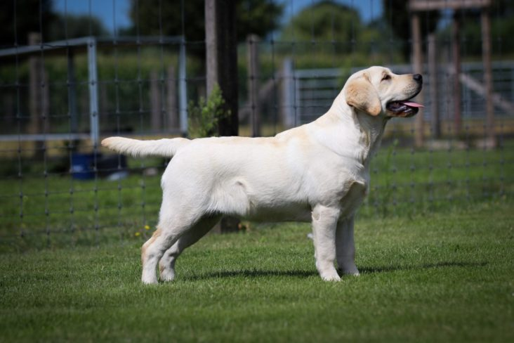 Victor Victoria's Labradors