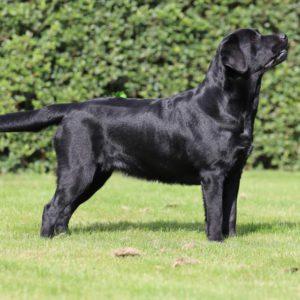 Victor Victoria's Labradors Eva Spriet