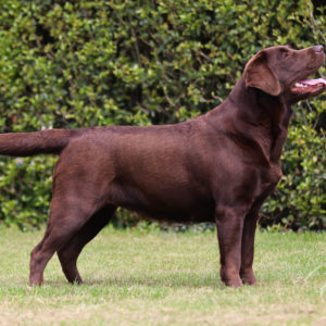 Victoria's Labradors Eva Spriet